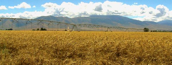 trigo de farinha para celíacos